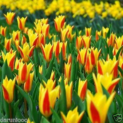6 TULIPS GIUSEPPE VERDI GARDENING BULB BEAUTIFUL SPRING SUMMER FLOWER PERENNIAL