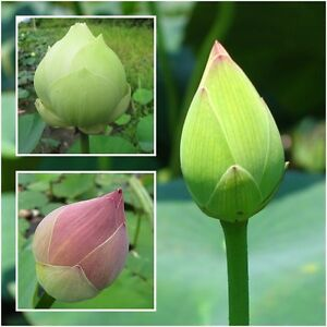 Lotus flower 10 seeds sacred lotus nelumbo nucifera aquatic image is loading lotus flower 10 seeds sacred lotus nelumbo nucifera mightylinksfo