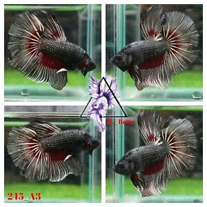 [245_A3]Live Betta Fish High Quality Male Fancy Over Halfmoon 📸Video Included📸