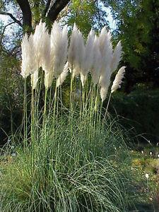 150-Samen-Cortaderia-selloana-weiss-Weisses-Pampasgras