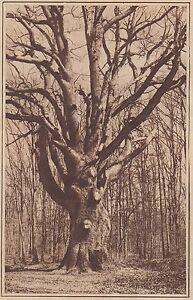 G2364-France-La-foret-de-Troncais-Le-geant-Stampa-d-039-epoca-1930-old-print