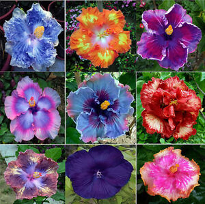 Image is loading 100-Pcs-Dinnerplate-Hibiscus-Seeds-Perennial-Flowers  sc 1 st  eBay & 100 Pcs Dinnerplate Hibiscus Seeds Perennial Flowers | eBay