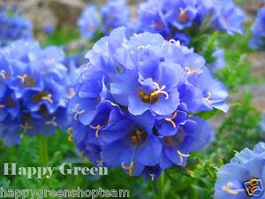 JACOBS-LADDER-300-SEEDS-Polemonium-Caeruleum-Perennial-Flower
