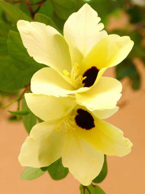 Bauhinia tomentosa rare yellow bell orchid tree flowering bonsai bauhinia tomentosa rare yellow bell orchid tree flowering bonsai plant 25 seeds mightylinksfo