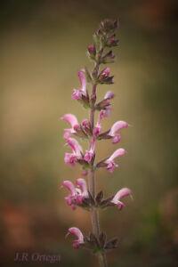 10 graines//Seeds Salvia pachyphylla