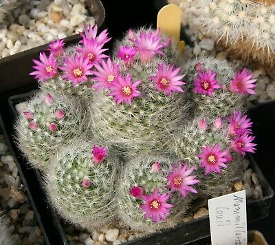 mammillaria parkinsonii seeds 10 rare cactus korn  samen