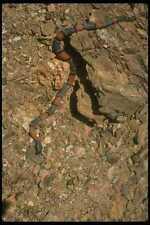175023 Gray banded Blair's Kingsnake A4 Photo Print
