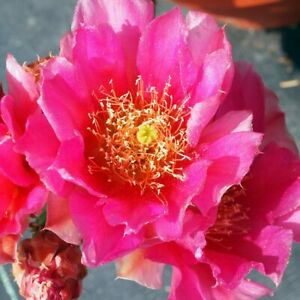 Opuntia-039-Mon-Cherry-039-Blush-Pink-Flowers-Cold-Hardy-Prickly-Pear-Cactus-1-Pad