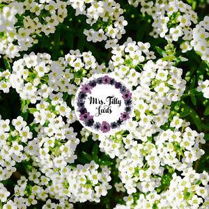 Steinkraut Schneeteppich Steinblume Staude 500 Samen Bodendecker Teppich Blume