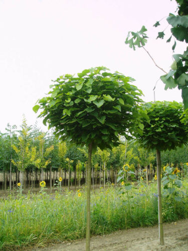 Dünger Höhe: 180-190 cm Kugel-Trompetenbaum Catalpa bignonioides Nana