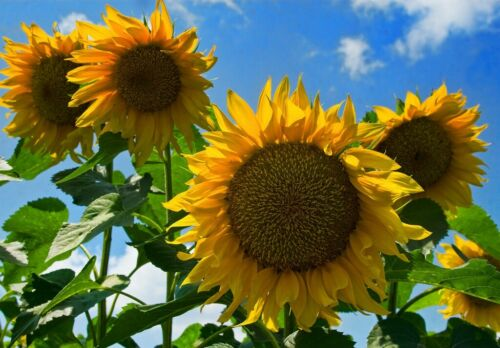 500 FRESH Giant Sunflower Helianthus Annuus Seeds
