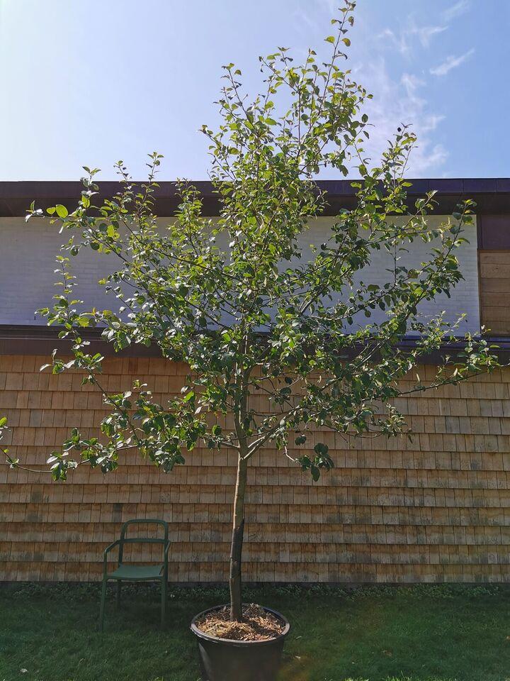 Æbletræ, Rød Aroma