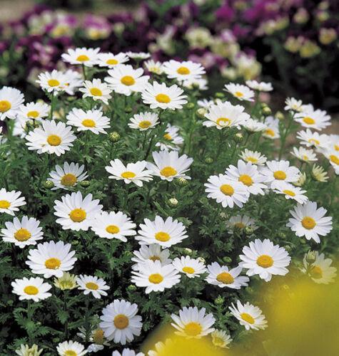 Early Chrysanthemum Snowland Seed Dwarf Profuse Large Free-Flowerer Ex Performer