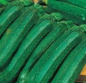 F1-Courgette-Ambassador-Courgette-15-seed