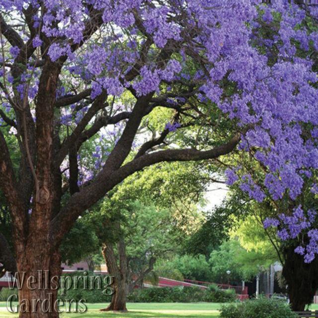 Blue Jacaranda Tree Small Live Plant Jacaranda Mimosifolia For