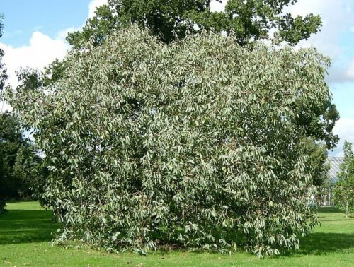 Eucalyptus neglecta HARDY EUCALYPTUS TREE Seeds!