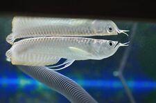 "SILVER AROWANA 6"" live tropical aquarium fish TANK RAISED in Florida RARE"