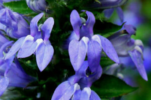 Giant Blue Lobelia 248 Seeds Great Blue Belflower Easy To Grow