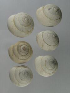 Sphincterochila-candidissima-Nice-lot-from-Spain
