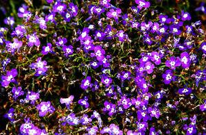 Lobelia Purple Riviera Lobelia Erinus 7000 Seeds Ebay