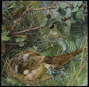 Glass-Magic-Lantern-Slide-WILLOW-WARBLER-ENTERING-NEST-C1900-PHOTO-BIRDS