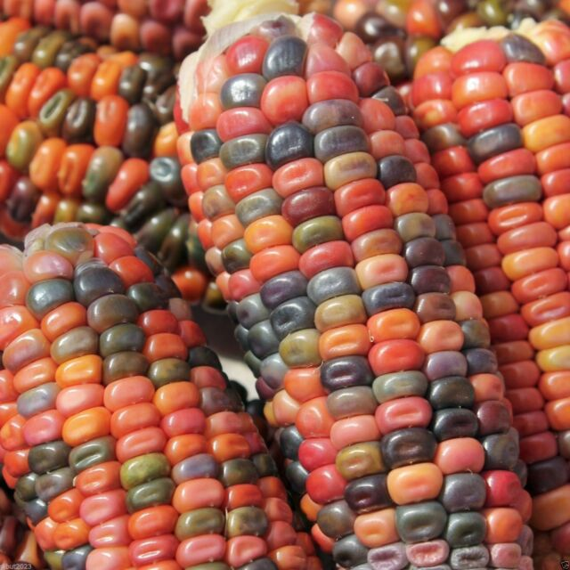 Earth Tones Dent Corn Seed -Tones of Gold,Bronze,Mauve-pink,Green,Brown and Blue
