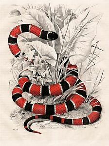 ART-PRINT-POSTER-PAINTING-NATURE-SERPENT-RED-BLACK-CORAL-SNAKE-NOFL0621
