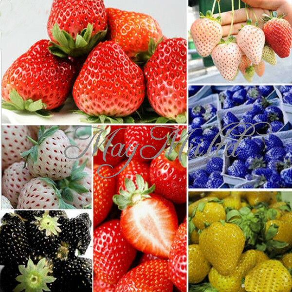 100 PCS Strawberry Seeds Nutritious Delicious Blue Black Fruit Vegetables Seed G