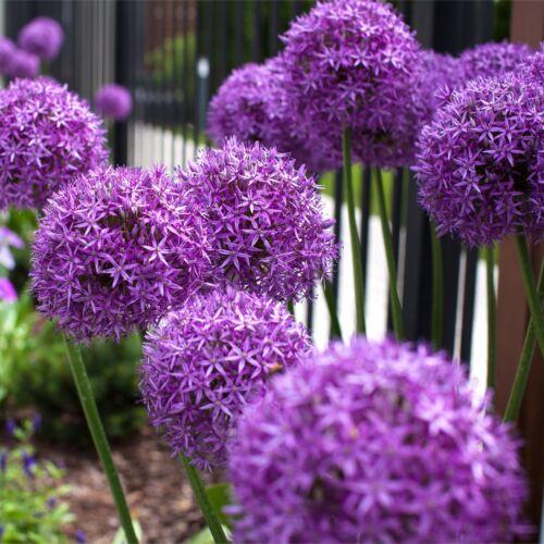 SPRING FLOWERING /'ALLIUMS VARIETIES/' GARDEN PERENNIAL BULBS PLANTS FLOWERS