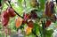 Pink-Tiger-X-Yaki-Blue-A-Stunning-Hot-Chilli-Variety-Australian-Grown-Seeds