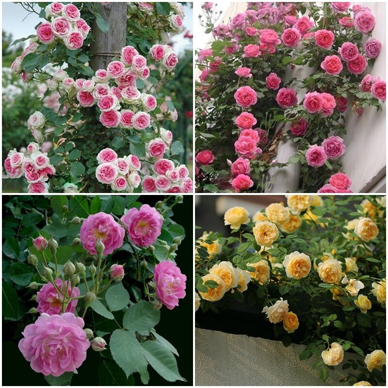 Lots Rose red Climbing Rose Seeds Perennial Flower Garden Decor Seed 4 Colors