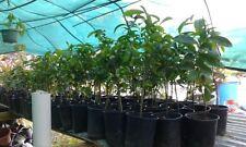 **SOURSOP** FRUIT TREE Guanabana Plant 1-2+ FT & 25 *FREE* SOURSOP LEAVES!