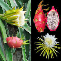 Hylocereus undatus Red Pitaya Pitahaya Dragon Fruit Queen of the Night, cutting