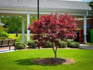 15 Red Japanese Maple Tree Cuttings Grow Your Own Trees Look