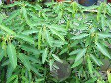 1 bag 20 Seeds Dance Weed Grass Seed Codariocalyx Motorius garden yard seed 3F
