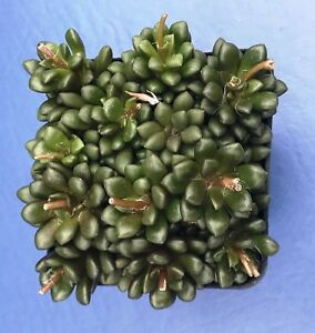 ANACAMPSEROS-LUBBERSII-IN-A-2-034-POT-SEED-GROWN-SUCCULENT-PLANT