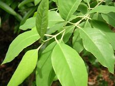 100 Seeds of SandalWood Tree Sandal - Santalum album Expensive Tree in the world
