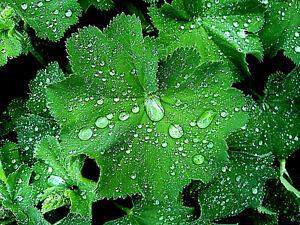 winterhart Frauenmantel Alchemilla vulgaris Tee weiße Blüte Wildpflanze
