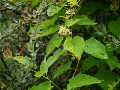 30 Samen Cynanchum auriculatum
