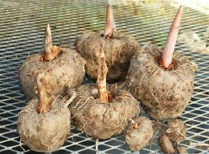 * Oncle Chan * 1 Ampoule Voodoo Lily (amorphophallus Dunnii) Rare Comestibles Konjac-s Dunnii) Rare Edible Konjac Fr-fr Afficher Le Titre D'origine