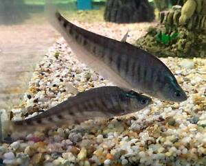 Clown knifefish oddball live tropical fish clown knife for Clown knife fish