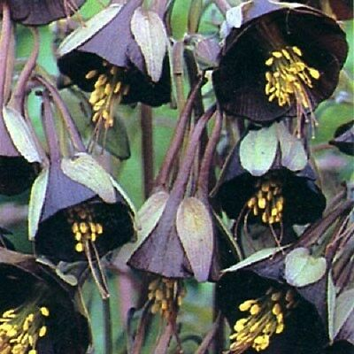 25+ CHOCOLATE SOLDIER  AQUILEGIA CHOCOLATE AND GREEN BI-COLOR / PERENNIAL