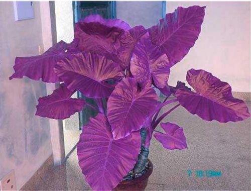 Colocasia Plant Jacks Giant Elephant Ear Seeds Purple Color 50 Seeds