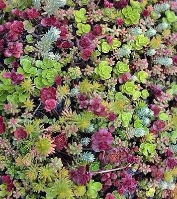 Sedum mixed 50 seeds *succulents excellent performing ground cover CombSH D45
