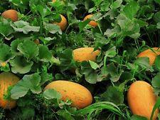 Rare  Chinese Hami Melon 哈密瓜 Large 4-5lb fruits Sweet & Crunch  25 Seeds