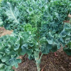 250-Graines-de-Chou-cavalier-Collard-Greens-Galice-Kale-tree-seeds
