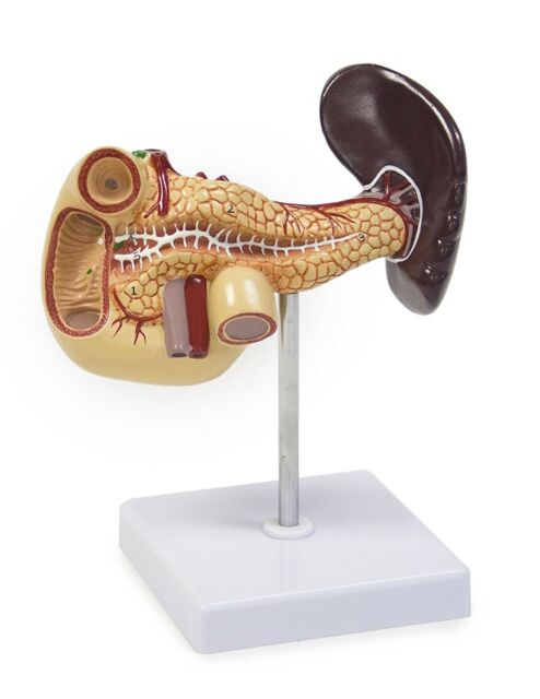 Life Size Walter Products B10216 Female Pelvis Model with Organs