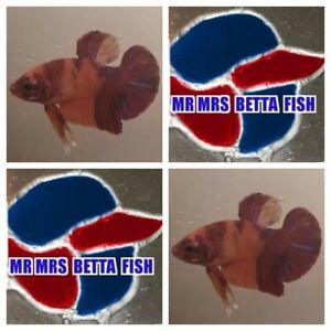 LIVE GIANT KOI PLAKAT MALE BETTA FISH (SHOW QUALITY)