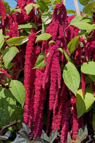 Jardin plantes graines zierpflanze semences vivace renard queue