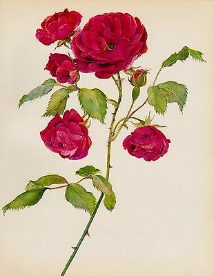 Vintage RED ROSE Print Botanical Gallery Wall Art Cottage Decor Roseart 926
